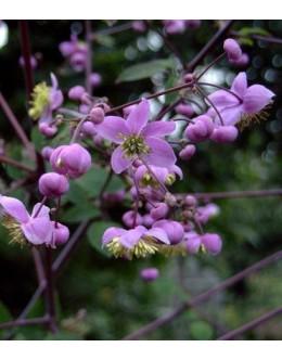 Thalictrum rochebrunianum - visoki talin, vetrovka