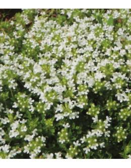 Thymus praecox 'Albiflorus' - belo cvetoči blazinasti timijan