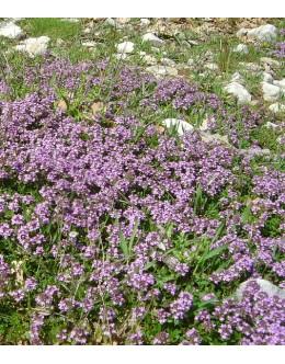 Thymus serphyllum hort. - poljska materina dušica
