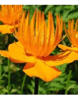 Trolius chinensis (T.ledebourii) 'Golden Queen' - oranžna pogačica