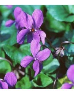 Viola odorata - vijolična vijolica