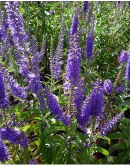 Veronica longifolia - visoka veronika, jetičnik