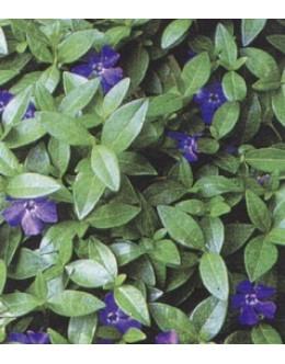 Vinca minor 'Bowles' - velikocvetni mali zimzelen
