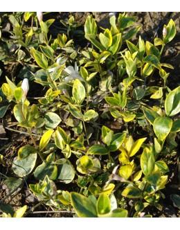 Vinca minor 'Aureovariegata Albiflora' - pisani mali zimzelen