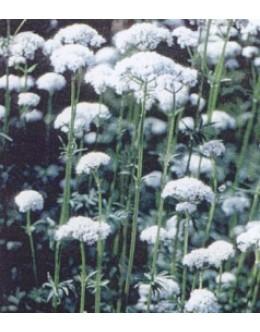 Valeriana officinalis - baldrijan, zdravilna špajka