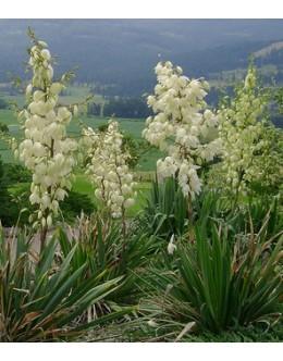 Yucca filamentosa - prezimno trdna juka